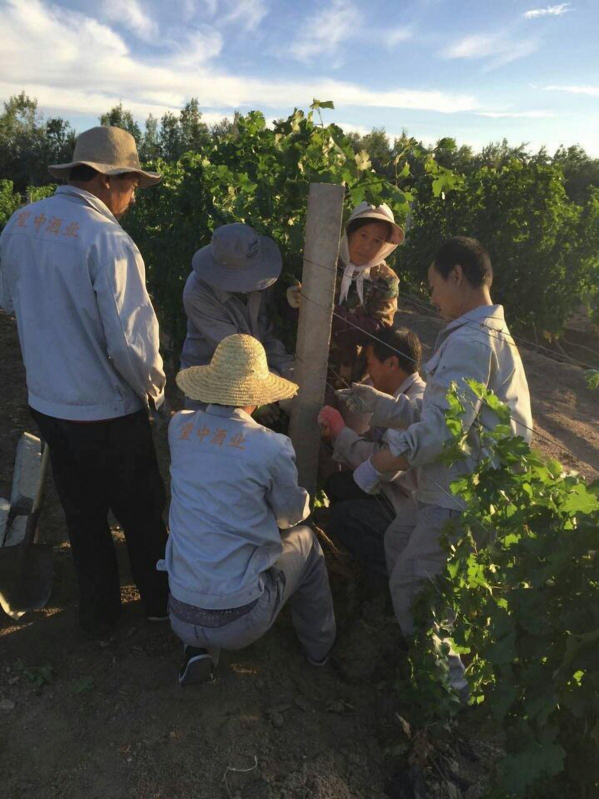 天塞酒庄的工人在抢救受灾的葡萄园