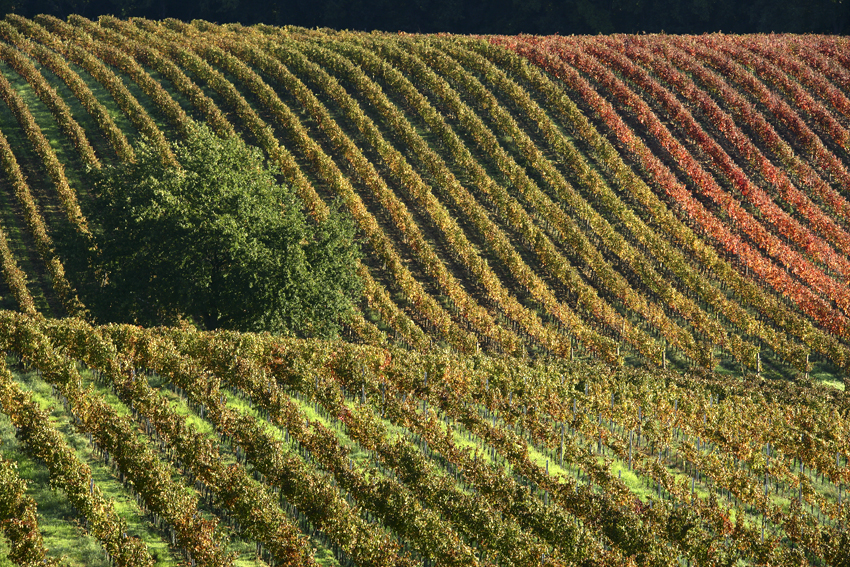 托斯卡纳秋天的葡萄园,来源:Vigneti Grattamacco
