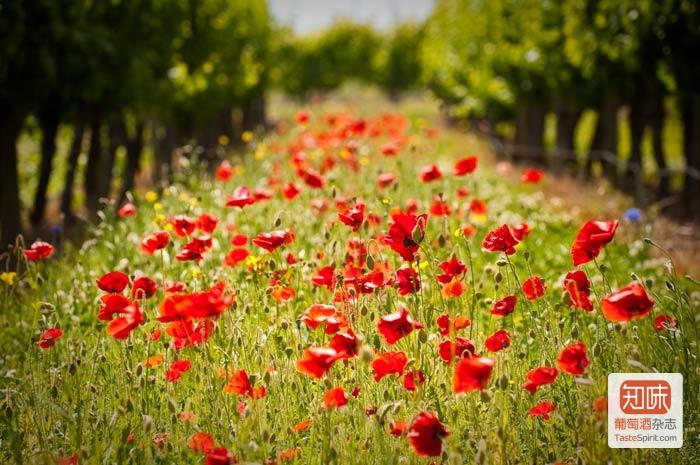 Framingham酒庄的葡萄园,图片来源:framingham.co.nz