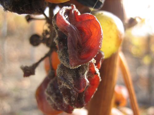 贵腐感染的葡萄,图片来源:dobogo