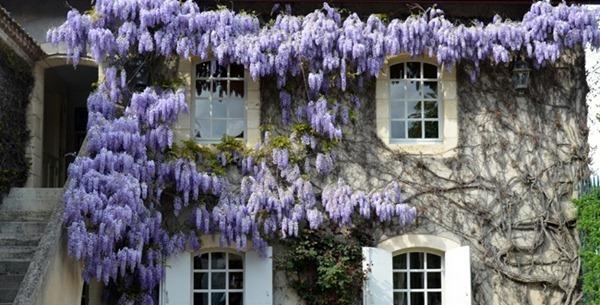 圣爱美隆一级庄卡农酒庄(Château Canon)的紫藤