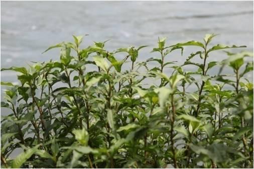 通常成长于蔽阴处溪水边的辣蓼草