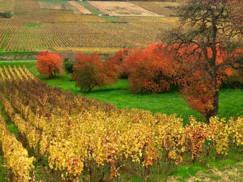 勃艮第葡萄园