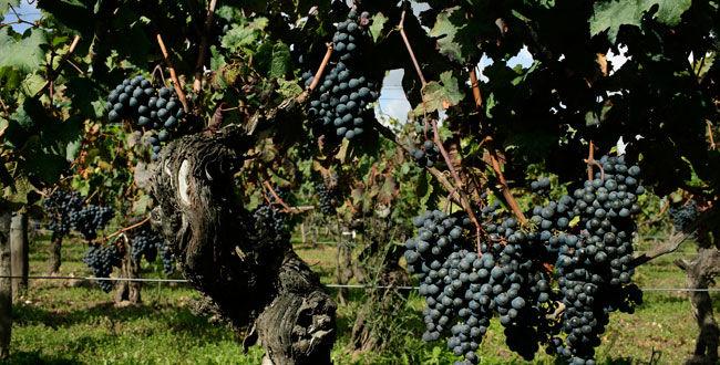 波美侯的葡萄园