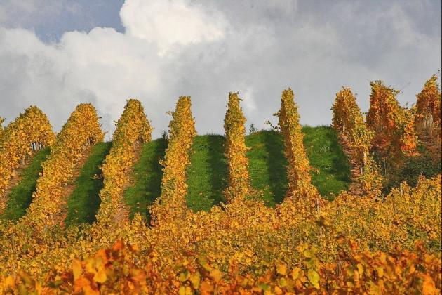 阿尔萨斯的葡萄园,图片来源:panoramio