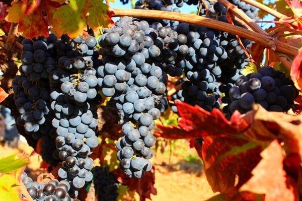 即将采收的葡萄 图片来源:Ridge Vineyards