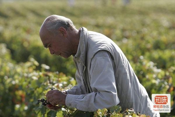 罗曼尼康帝酒庄掌门人奥贝尔·德维兰在采收前在葡萄园里尝果以确认其成熟度,来源:DRC