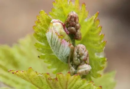 7. 葡萄串初现:葡萄花序可见。