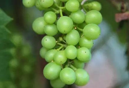 12. 豌豆状:果实颗粒达到最终大小的一半。葡萄串下垂呈竖直状态。