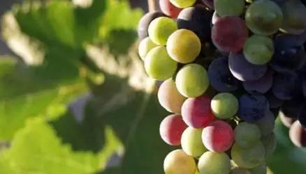 14. 转色期:果实正在逐渐改变颜色。葡萄串变得更加紧实。葡萄枝条开始变黄:这是木质化的开始。