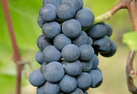 15. 成熟-采收:果实成熟,生长停止。成分分析有助于确认果实成熟度和最佳采收时间。