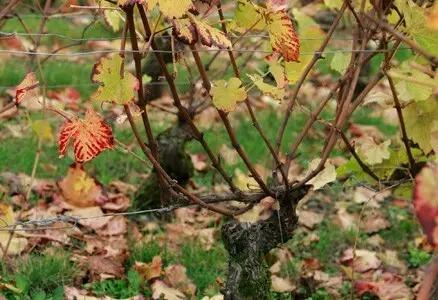 16. 落叶:所有的枝条都已变成棕色,叶子变黄并且开始掉落。这是冬休期的开始。