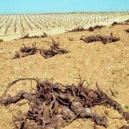 死藤拔除以及耕地翻土