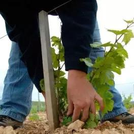 新苗的栽种