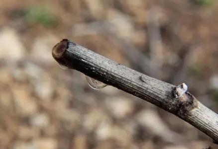 2. 伤流:植株苏醒,植物液从冬剪的伤口中流出。