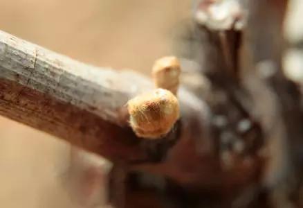 3. 绒毛状芽苞:鳞状物分离并且出现芽绒毛。