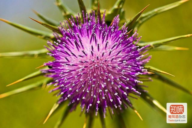 milk-thistle-flickr-aehack