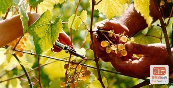 意大利葡萄酒的品质革命,图片来源:DR