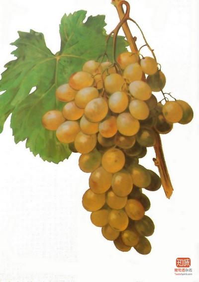 品质优异的亚历山大麝香葡萄(Muscat d'Alexandrie)