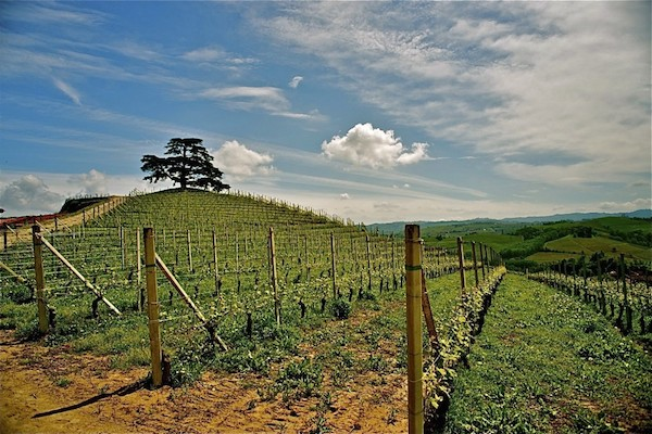 "Cordero di Montezemolo的葡萄园和巴罗洛""迎客松""。1856年,当时的伯爵为庆祝自己大婚,在Monfalleto山顶种下这棵黎巴嫩雪松。"