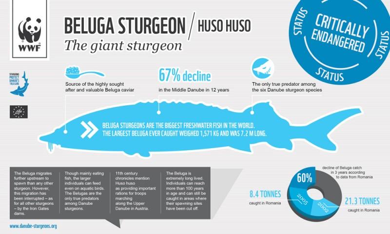 大部分种类的野生鲟鱼如今都属于濒危动物