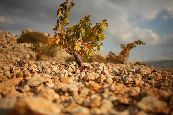 黎巴嫩Bekaa平原上Kefraya酒庄的葡萄藤,来源:Olivier Roux