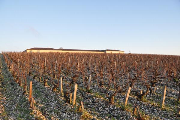 拉图酒庄的葡萄田,藤龄都不低