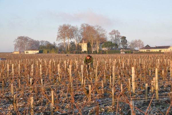 拉图酒庄的酒农很早就开始在葡萄田里干活了