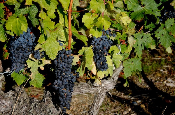 波尔多梅多克 圣克里斯托夫酒庄(Château Saint-Christoly)的葡萄园,来源:苏雅