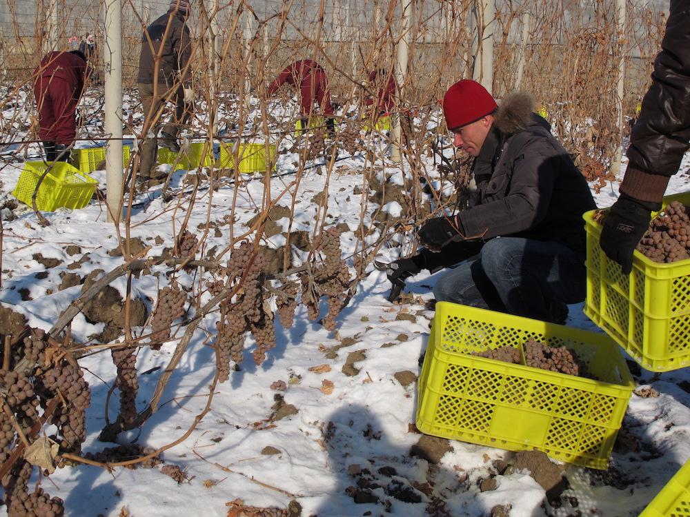 东宁在冬天采摘冰酒葡萄的景象
