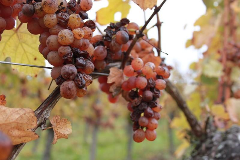 法国阿尔萨斯产区的晚收琼瑶浆葡萄(Gewurztraminer),来源:vins-carl.com