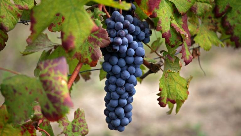 内比奥罗(Nebbiolo)葡萄