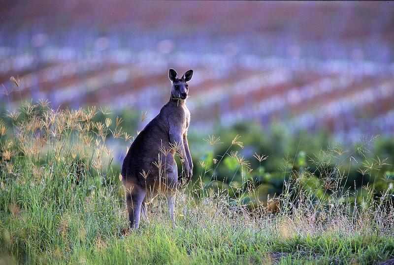 葡萄园里的袋鼠,图片来源:Wine Australia