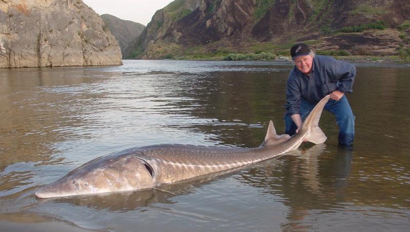 有些品种的鲟鱼可以长到非常巨大