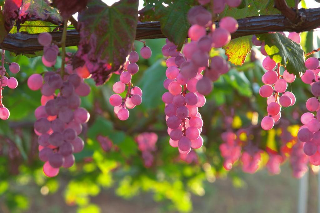 其实许多葡萄品种,比如玫瑰香,视栽培工艺和产地差异,都可以选择酿酒或者鲜食,图为日本甲州葡萄