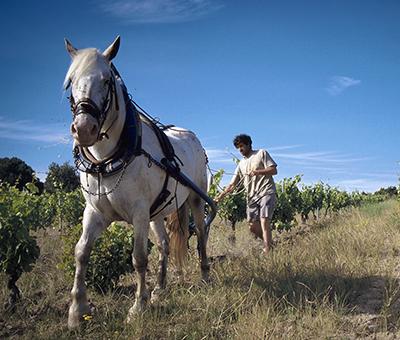 阿尔诺·陶塔(Arnaud Dautas)正在露喜龙地区(Roussillon)的蒙提庄园(Château Monty)吆喝马进行耕作,拍摄:Mathew Monty Waldin