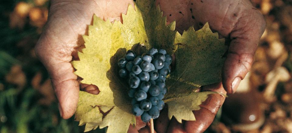 Oseleta葡萄