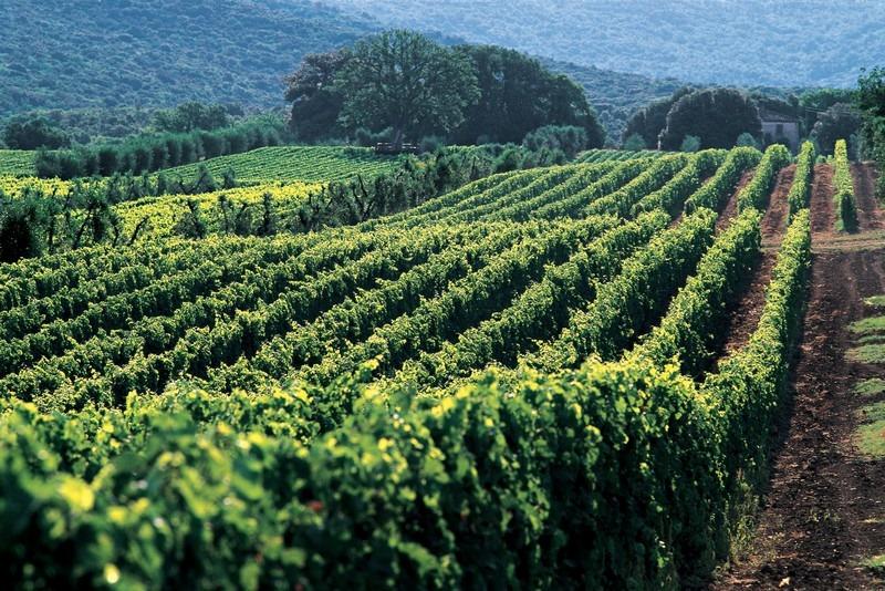 超级托斯卡纳的名家 奥纳亚 Ornellaia的葡萄园,来源:Ornellaia