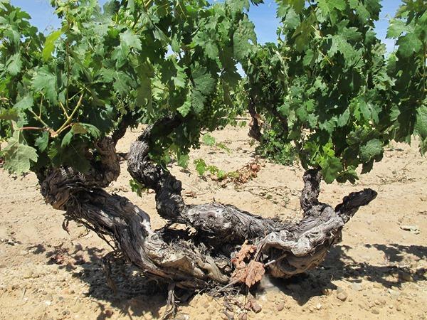 杜罗河谷(Ribera-del-Duero)的根瘤蚜虫灾害之前就种下的老藤