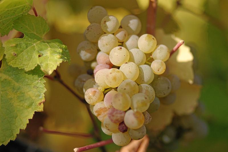 雷司令葡萄上的斑点是其非常好辨认的特征,图片来源:Wikipedia