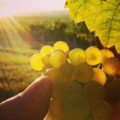 scheurebe_2016_grapes-2
