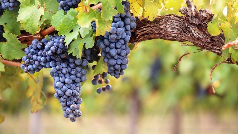 syrah-bunches-of-shiraz-french-vines-guide-to-the-best-red-wines-in-the-world