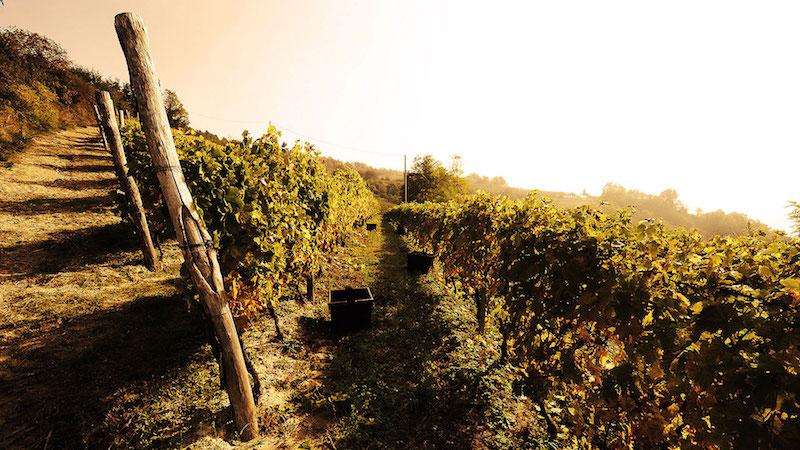 酒庄的葡萄园