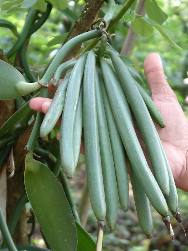新鲜的香草豆荚