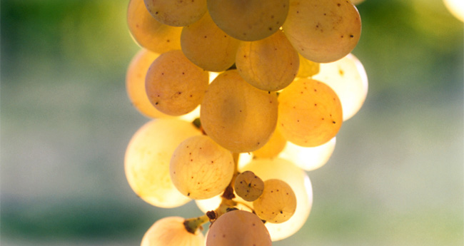 white-grapes-riesling
