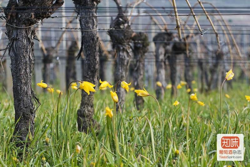 辛特-鸿布列什酒庄同样是一家遵循有机种植的酒庄