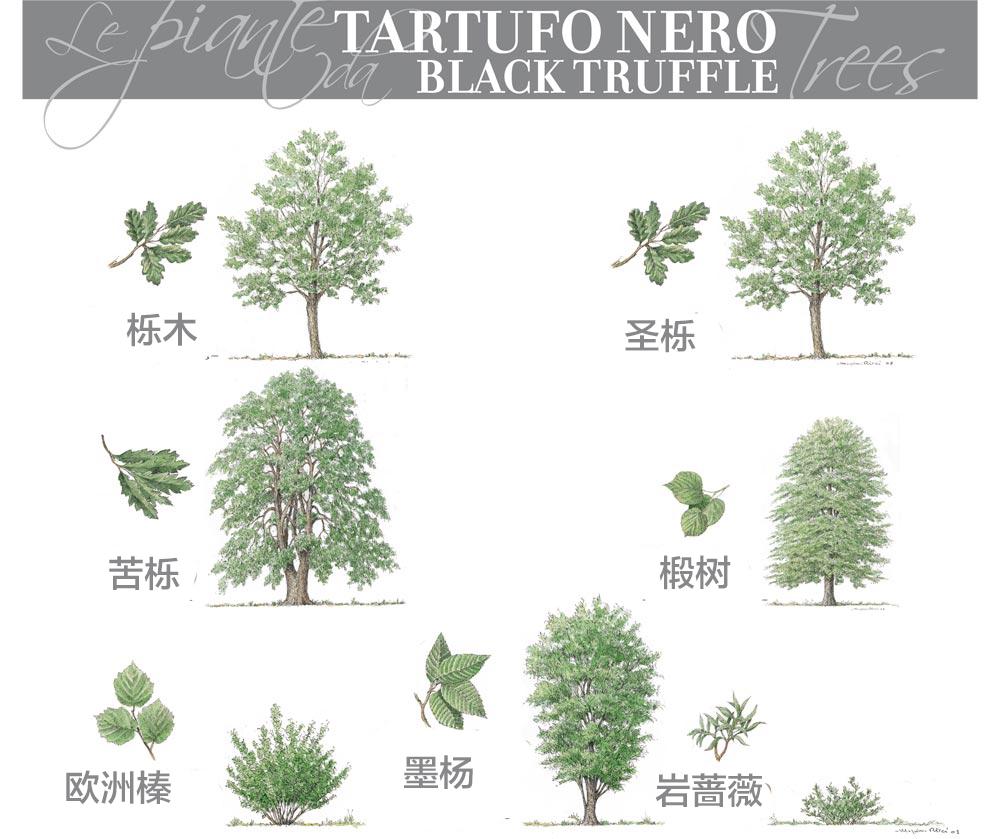 黑松露的共生树品种