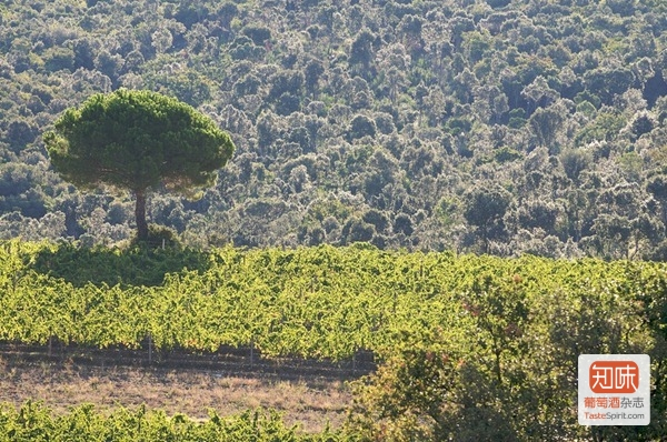 奥纳亚 Ornellaia的葡萄园展现着托斯卡纳典型的环境,来源:Ornellaia