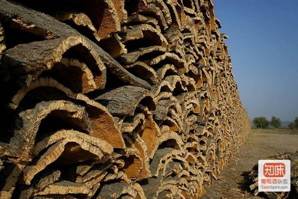 采集下来在自然风干的栓皮栎树树皮