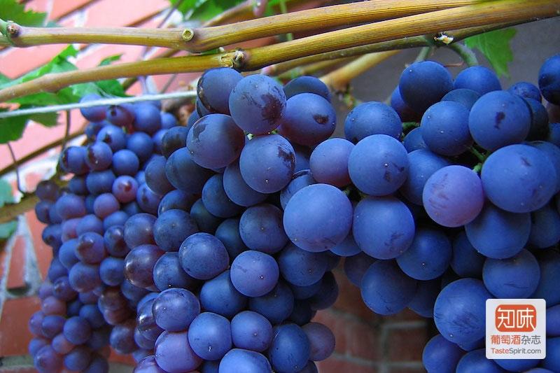 西拉(Syrah)葡萄